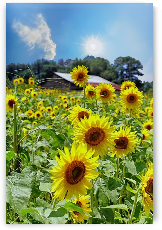 Bright Sunflowers Under Star Sun by Darryl Brooks