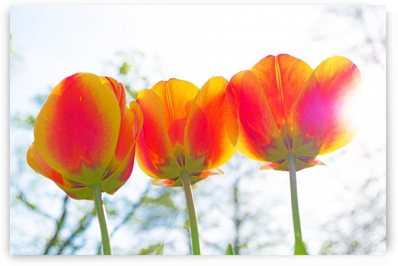 Tulips in the sunshine by Luigi Girola