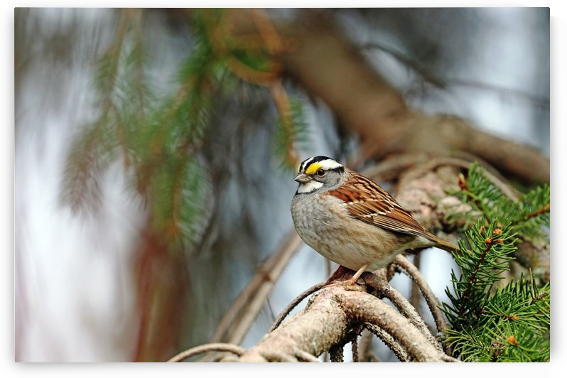 White Throated Sparrow In Spruce  Tree by Deb Oppermann