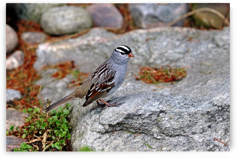 White Crowned Sparrow On The Rocks by Deb Oppermann