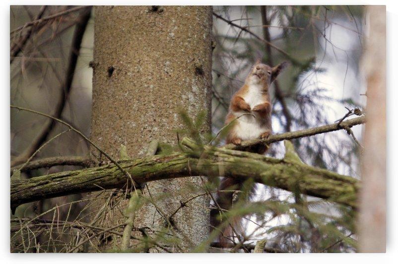 Squirrel by Arvydas Kantautas