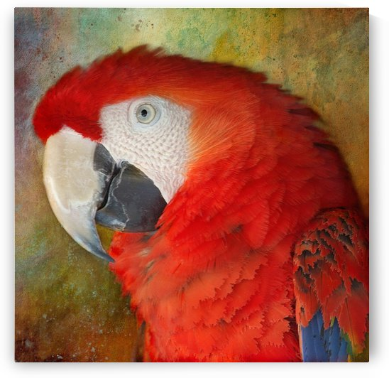 Scarlet Macaw Portrait by HH Photography of Florida