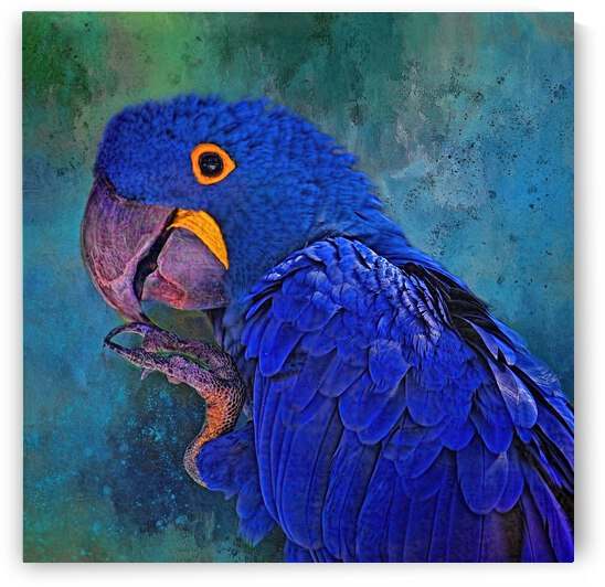 Hyacinth Macaw by HH Photography of Florida