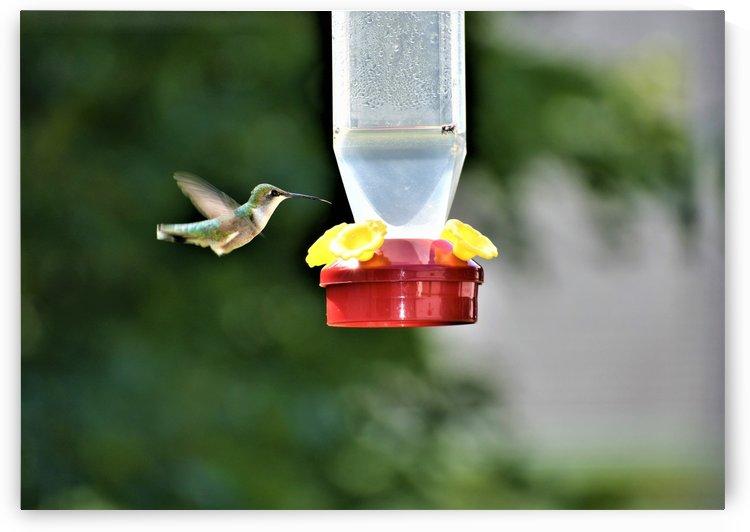 Hungry Hummingbird by Eric Schmitz