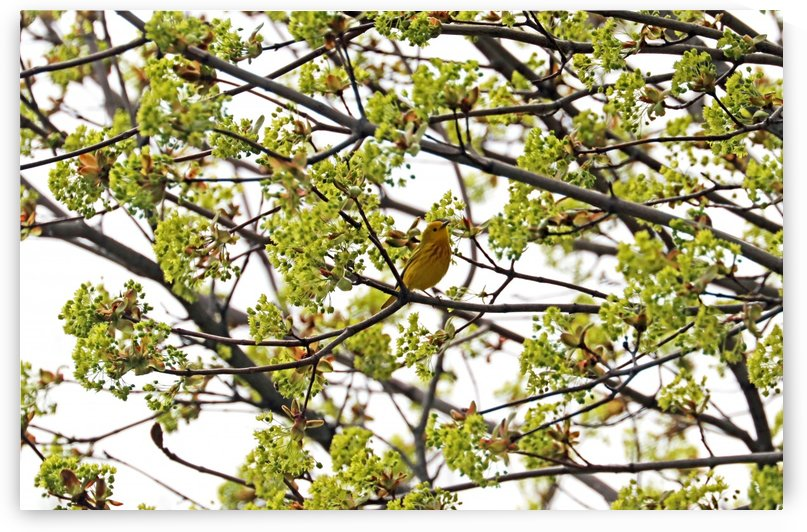 Yellow Warbler In Spring Maple Tree by Deb Oppermann