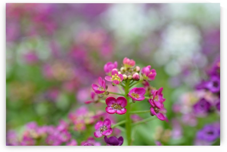 Small Pink Flowers Photograph by Katherine Lindsey Photography