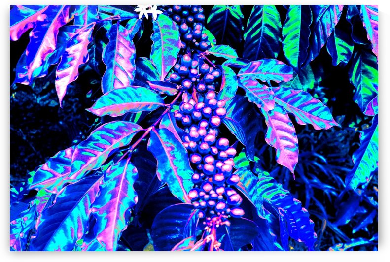 Coffee Berries by Matthew Ulisse