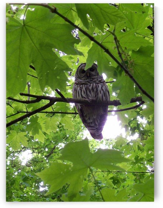 Owl by Keith A Loreth