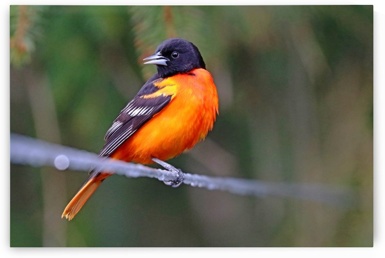 Baltimore Oriole On The Line by Deb Oppermann