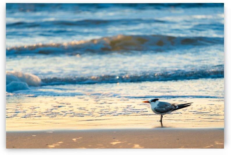Royal Tern by Peter Kaple