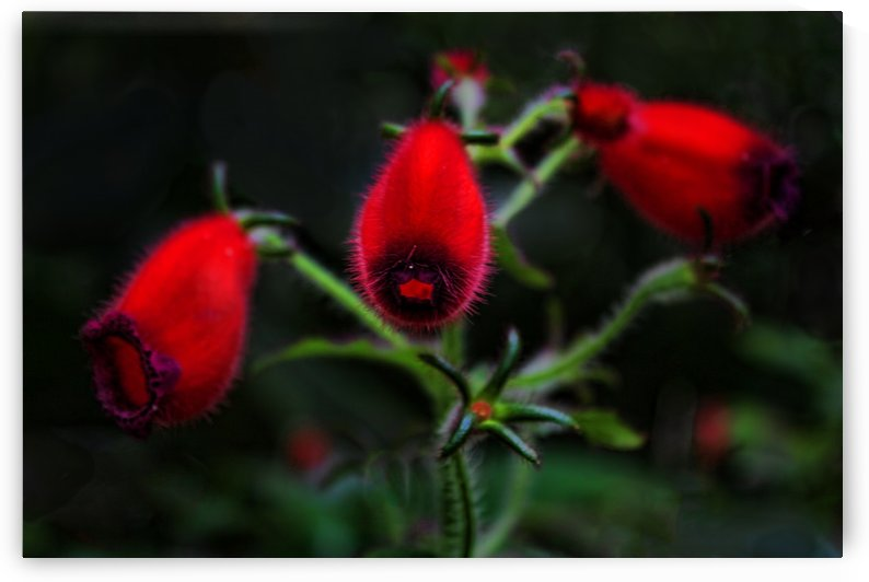 Seemannia Purpurascens by HH Photography of Florida