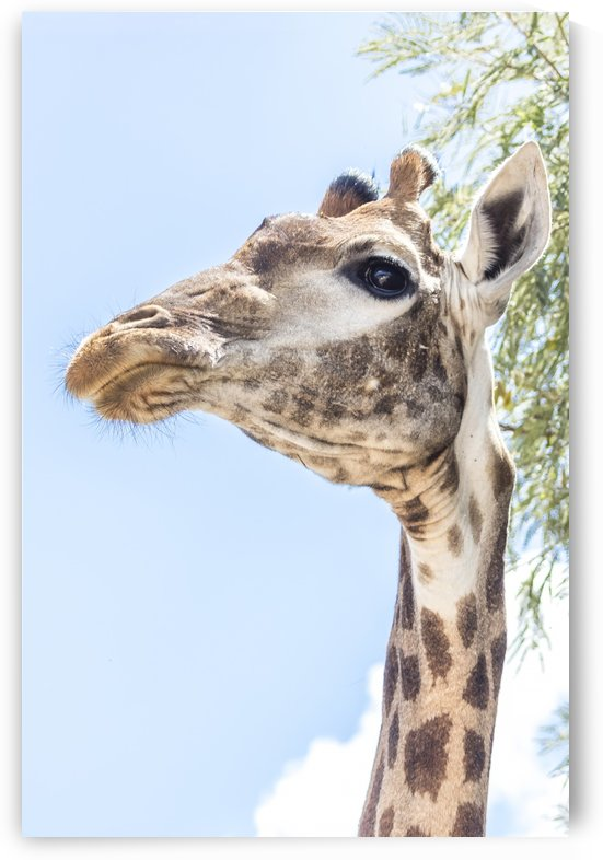 Eye of a Giraffe by Petrus Bester