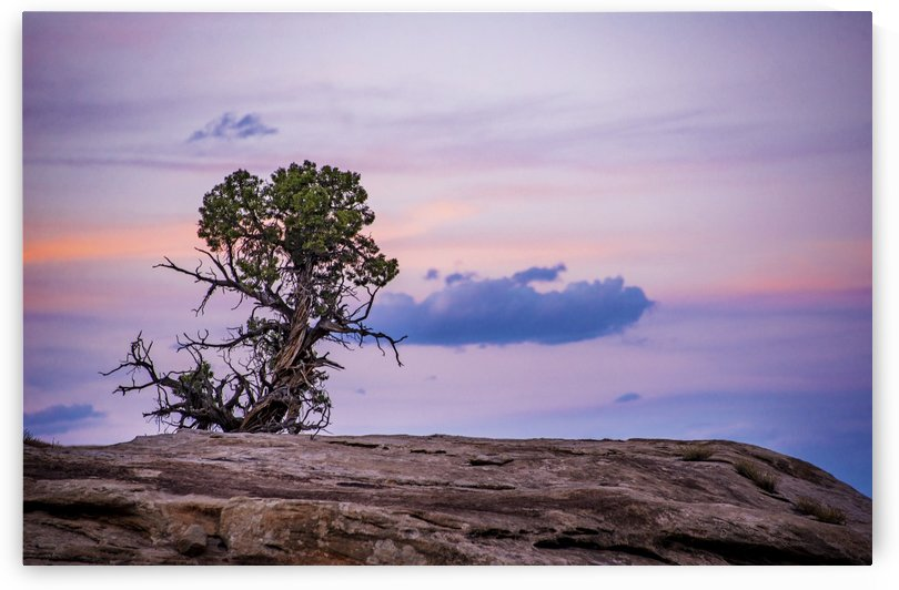 Juniper by Mike D Lewis