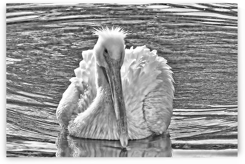 The American White Pelican by HH Photography of Florida