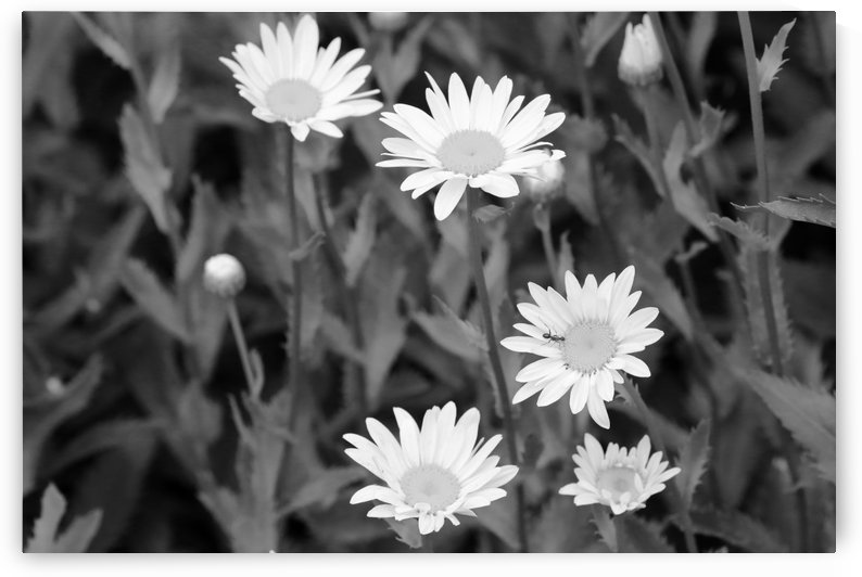 Dow Gardens Daisies 2 BW 062618 by Mary Bedy