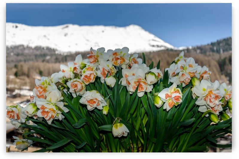 Narcissus in the Alps by Ann Romanenko