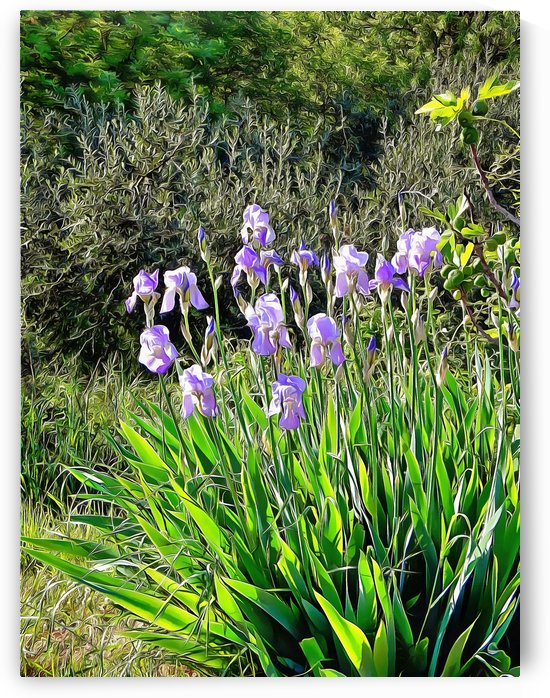 Iris In Italian Countryside by Dorothy Berry-Lound