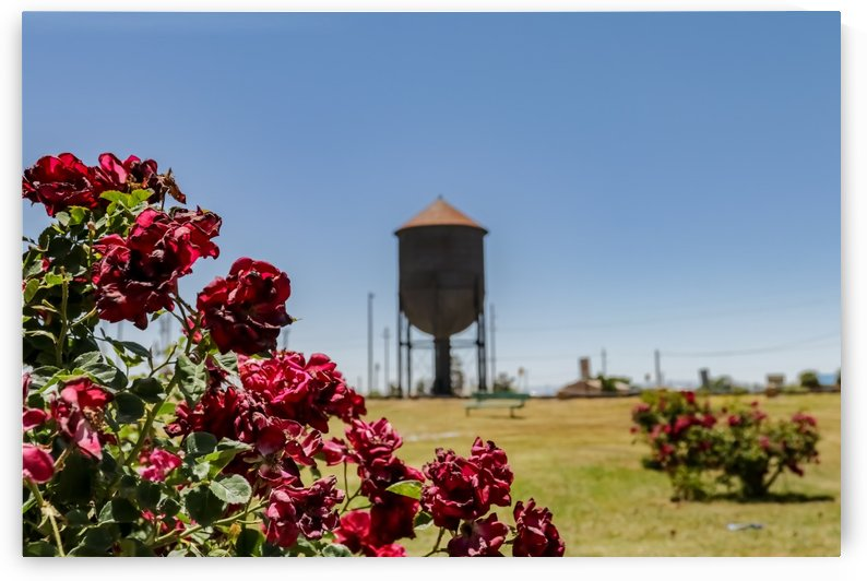 Red Rose New Mexico by Wilken Photos