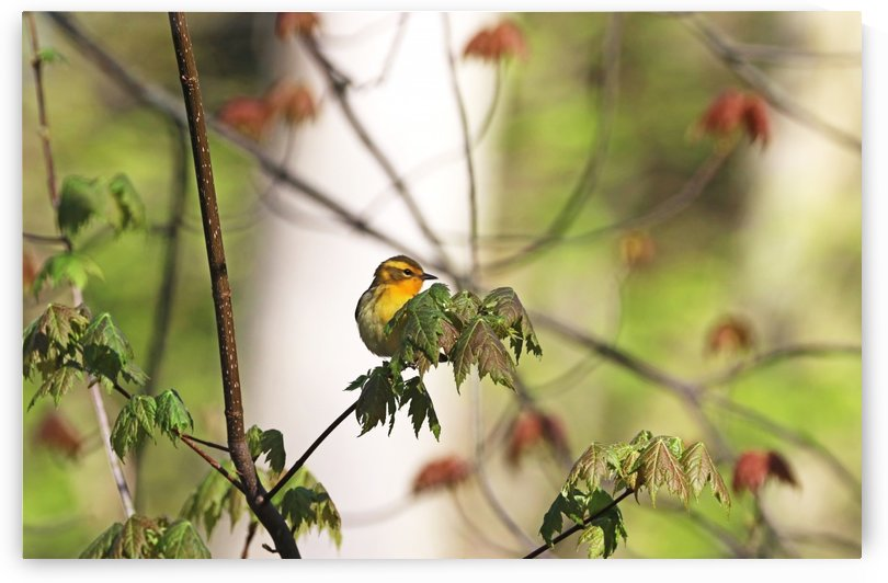 Female Blackburnian Warbler by Deb Oppermann