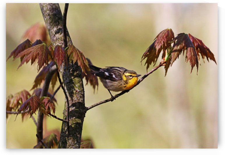 Blackburnian Warbler In Maple Tree by Deb Oppermann