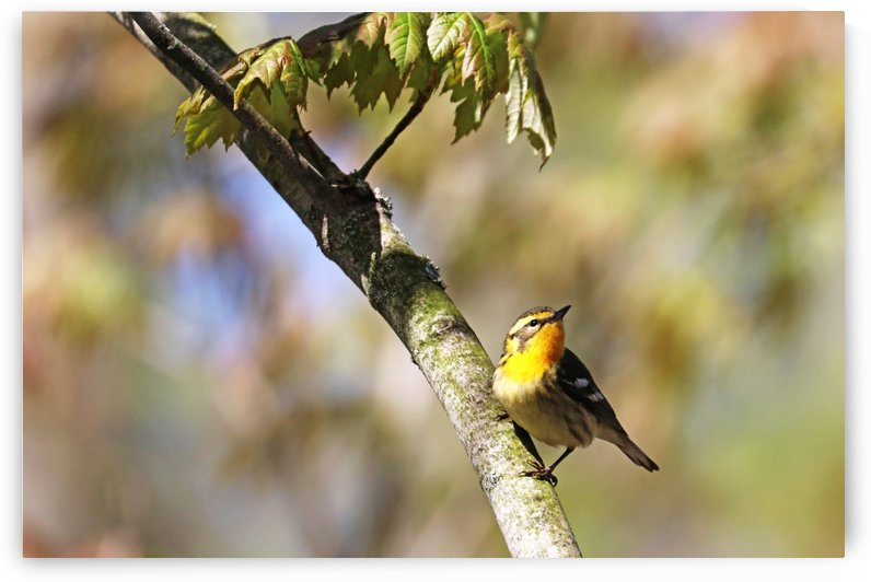 Female Blackburnian Warbler I by Deb Oppermann