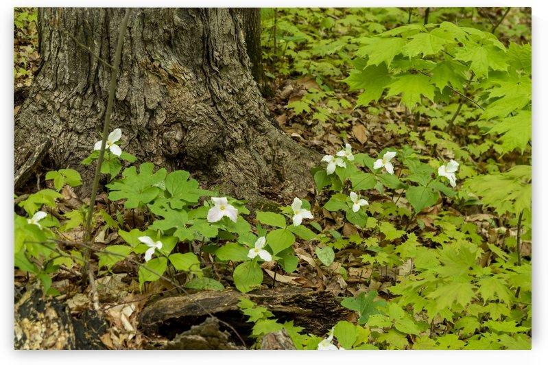 Trillium Woods 10 by Bob Corson