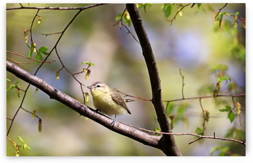 Philadelphia Vireo by Deb Oppermann