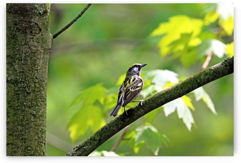 Distinctive Chestnut Sided Warbler by Deb Oppermann