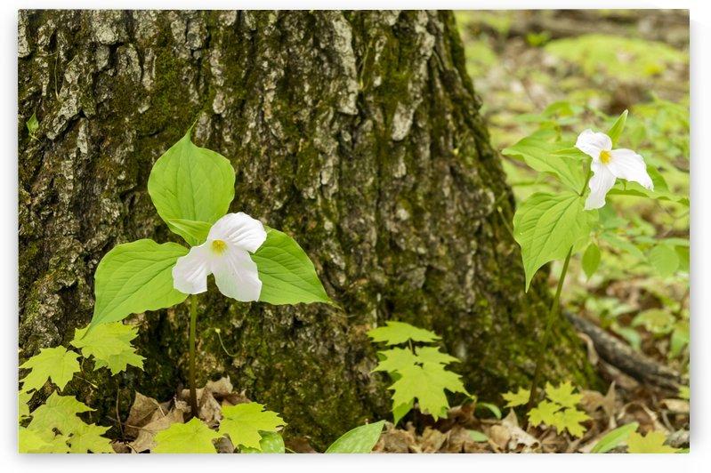 Trillium Woods 13 by Bob Corson