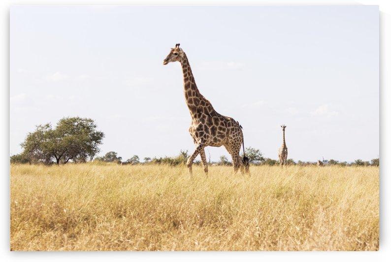 Wild Giraffe Posing by Petrus Bester