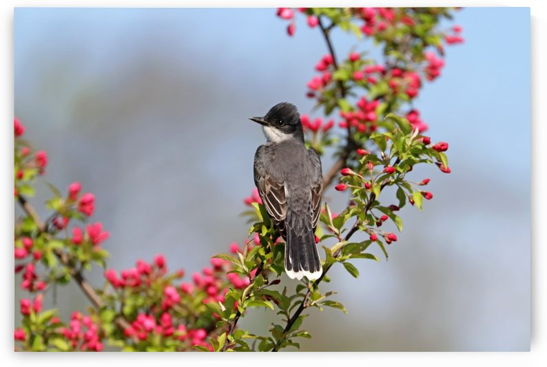 Kingbird And Pink Blossom Buds by Deb Oppermann
