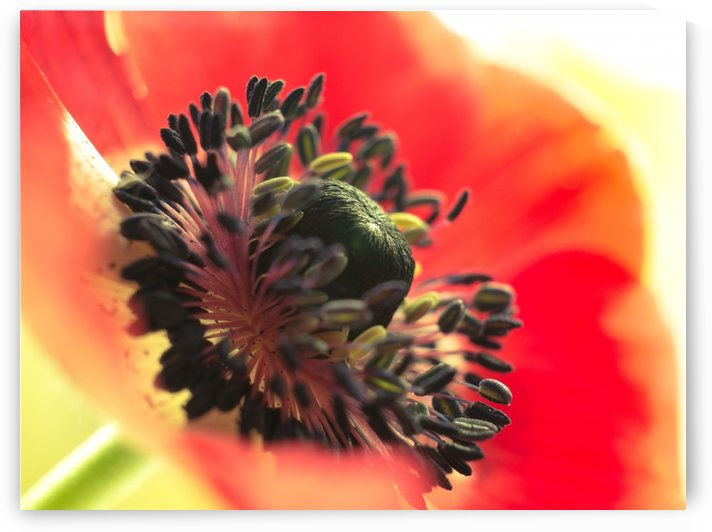 Red Flower Anemone Close-up Macro by Art By Dominic