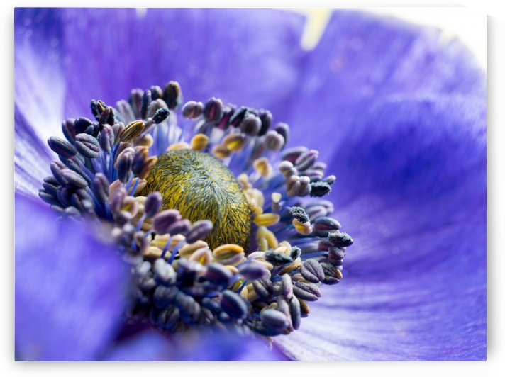 Blue Flower Anemone Close-up Macro by Art By Dominic