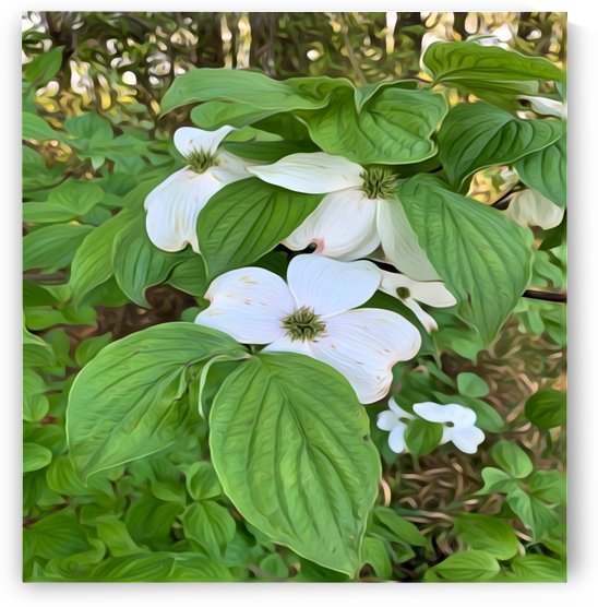 Flowering Dogwood by Shanta Nicole