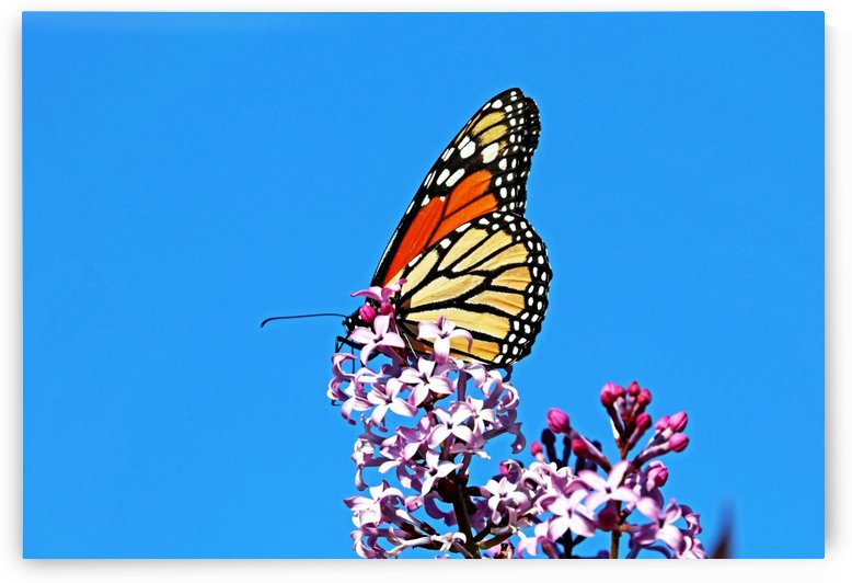 Monarch And Lilacs by Deb Oppermann