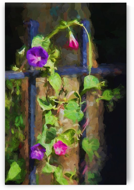 Pink And Purple Morning Glories by HH Photography of Florida