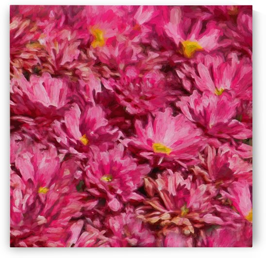 Pink Chrysanthemum Square  by HH Photography of Florida