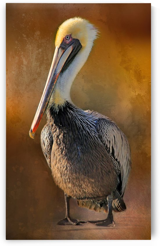 Brown Pelican Portrait by HH Photography of Florida