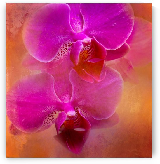 Colorful Phalaenopsis by HH Photography of Florida