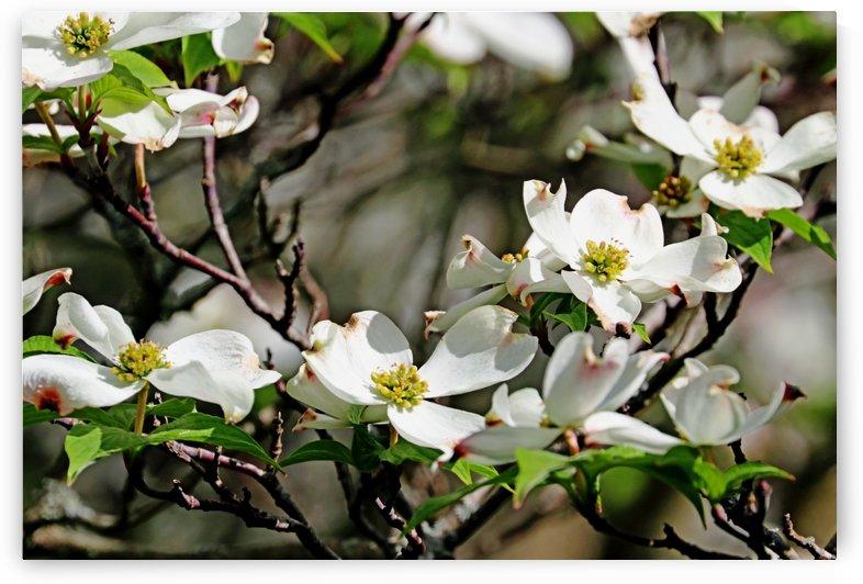 White Flowering Dogwood by Deb Oppermann