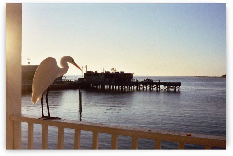 Morning Visitor - Cedar Key Florida by FoxHollowArt