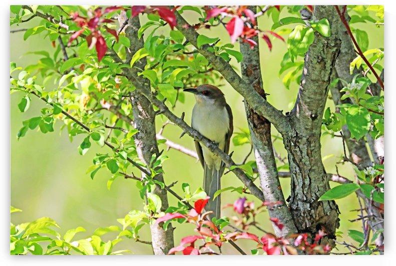 Elusive Black Billed Cuckoo by Deb Oppermann
