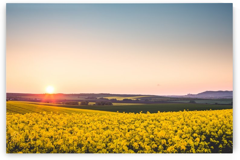 Beautiful sunset over the yellow rapeseed field. by Alex Pell