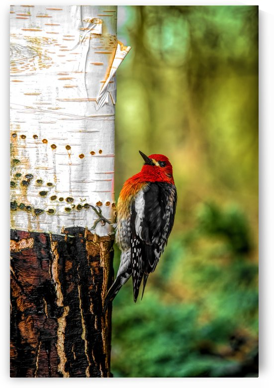 Wood Pecker  and Birch - A Hole a Day by Rudi Mallant Photography