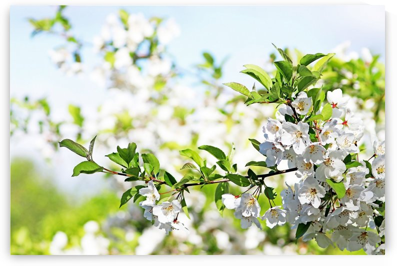 White Blossoms Of Spring by Deb Oppermann