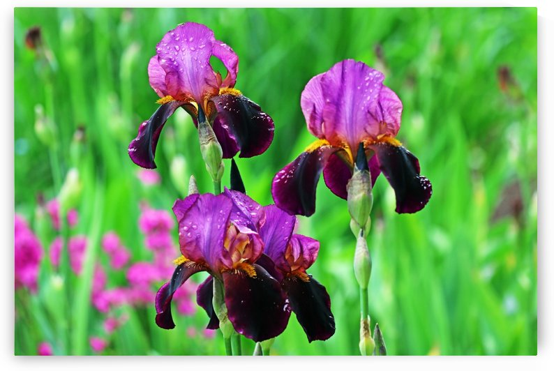 Shades Of Purple Iris Bouquet by Deb Oppermann