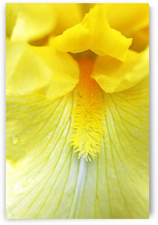 Cheerful Yellow Iris by Deb Oppermann