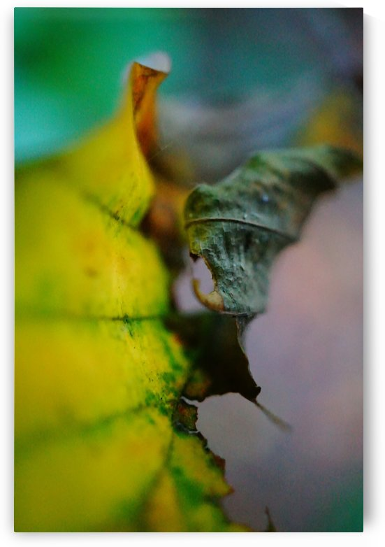 Curled Leaf by Richard Vloemans Macro Photography