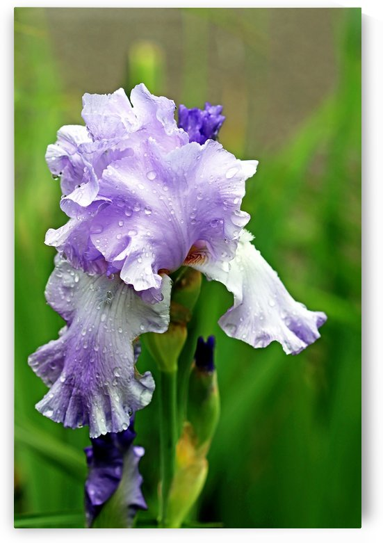 Sweet Blue Mary Frances Iris by Deb Oppermann