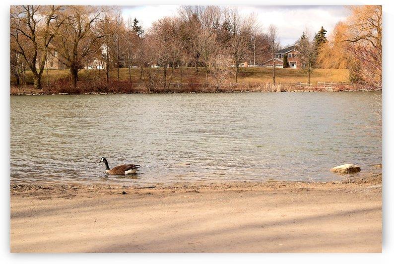 Canada Goose by Quiet Art